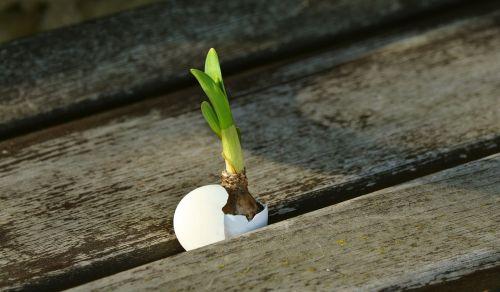 svogūnai,skonis,gyventi nauji,Velykos,prisikėlimas,kiaušinis,sodinukai,pavasaris,gemalo vystymasis,dygsta,augti,atnaujinti,ūgliai,viltis,augimas,gyventi
