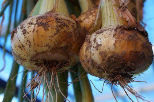 svogūnai,sveikas,maistas,daržovės,mityba,valgyti,į sveikatą,parduoti šviežias daržoves,frisch,vitaminai,derlius,šaknis,sodas