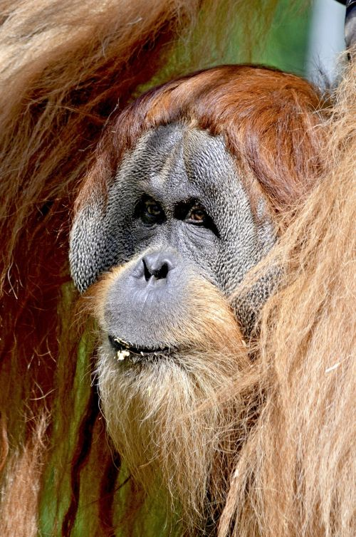 orang utan,beždžionė,ape žmogus,ape,miškas žmogus,gyvūnų portretas,orang-utan,primatai,sąmoningas,zoologijos sodas,gyvūnas,žmogus,raudona,raudonas kailis,ilgi plaukai