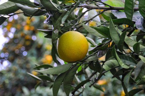 oranžinė,vitaminas,Citrusinis vaisius,Ispanija,Turkija,Graikija,vaisiai,Citrusiniai vaisiai,sveikas,vaisiai,skanus,prinokę,citrinos,frisch,rūgštus,maistas,apelsinų derlius,greipfrutas,atogrąžų vaisiai,žalias,geltona,limone,sultingas,tropiniai vaisiai,vasara,saulė,stebuklas