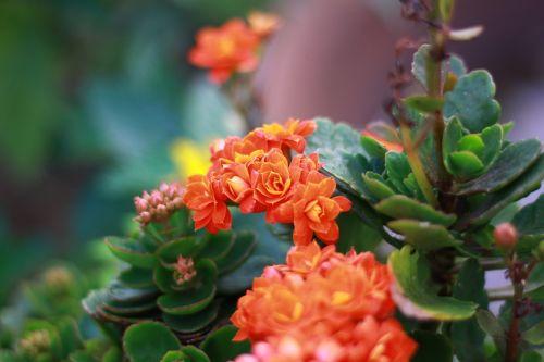 oranžinė,gėlė,mielas,tauta