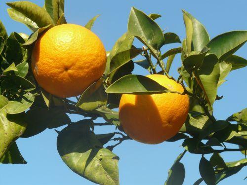 oranžinė,oranžinis medis,vaisiai,malta,lapai,priklausyti,vaisiai,skanus