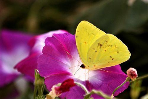 gamta, laukinė gamta, gyvūnai, vabzdžiai, drugeliai, geltona & nbsp, drugelis, oranžinės spalvos, siera & nbsp, drugelis, geltonos & nbsp, sparneliai, sipping, gerti, gėlė, violetinė & nbsp, gėlė, ryto & nbsp, šlovės, violetinė & nbsp, ryto & nbsp, šlovės, tamsus & nbsp, fonas, drugelis & nbsp, sparnai, apelsinų sieros drugelis