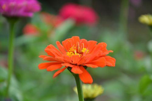 oranžinis žiedas,žiedlapiai,gamta,oranžinė,gėlė,tvirtas,augalas,oranžinės gėlės,gėlės žiedlapiai,oranžinės žiedlapiai,gamtos puokštė