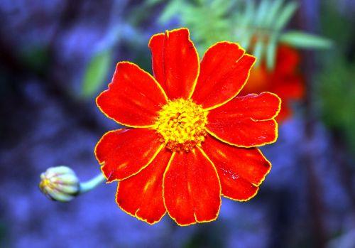 oranžinis žiedas,žiedlapiai,gėlės žiedlapiai,sodas,oranžinės žiedlapiai,žydėjo