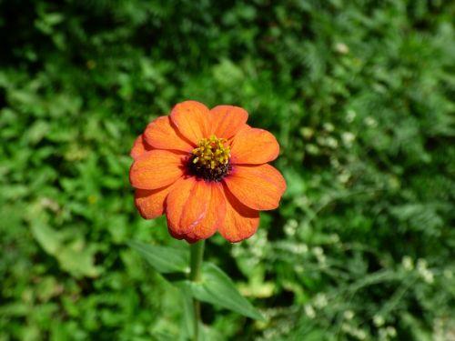 apelsinų gėlių žiedlapiai,oranžinė daisy,oranžinė laukinė gėlė,kalnų daisy