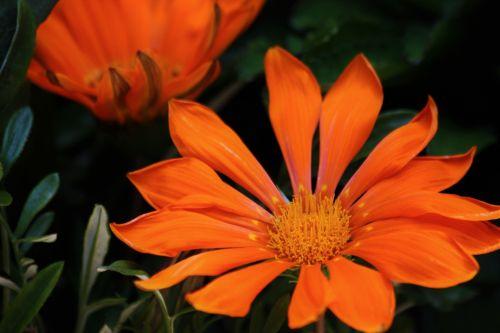 gamta, augalai, gėlės, oranžinė & nbsp, gėlė, gazania, gazania & nbsp, gėlė, oranžinė & nbsp, gazania, Iš arti, makro, Bokeh, žalios spalvos & nbsp, lapai, tvirtas, tamsus & nbsp, fonas, oranžinė gazania gėlė arti