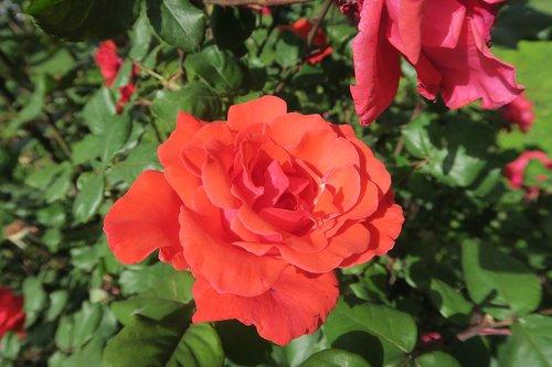 oranžinės spalvos rožės, gėlė, augalų, pobūdį, lapai