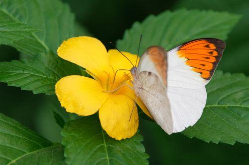 hebomija & nbsp, glaucippe, gyvūnas, drugelis, gėlė, puikus & nbsp, oranžinis patarimas, vabzdys, gamta, atogrąžų, baltieji & nbsp, sparnai, sparnas, geltona, oranžinė taurė drugelis
