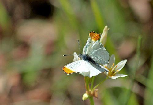 gamta, laukinė gamta, gyvūnai, vabzdžiai, drugelis, oranžinė & nbsp, patarimas, balta & nbsp, drugelis, oranžinė & nbsp, baltoji & nbsp, drugelis, sipping, gerti, nektaras, balta & nbsp, wildflower, klaidingas & nbsp, česnakas & nbsp, laukinės spalvos, žalias & nbsp, laukas, neryškus & nbsp, žalias & nbsp, fonas, vyriška & nbsp, oranžinė & nbsp, galva & nbsp, drugelis, oranžinė taurė drugeliai