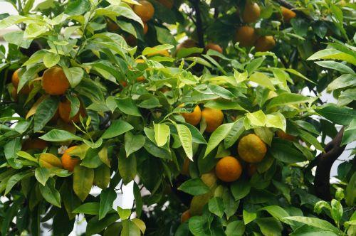 apelsinai,augalas,botanika