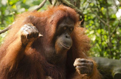 orangutanas,ape,Singapūro zoologijos sode,laukiniai,laukinė gamta,gyvūnas,primatas