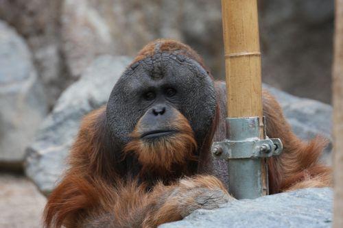 orangutanas,beždžionė,zoologijos sodas,Hagenbeck