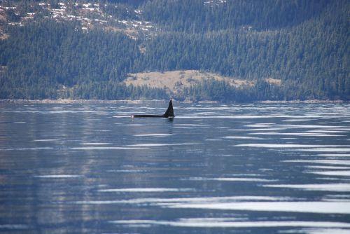 orca,alaska,banginis