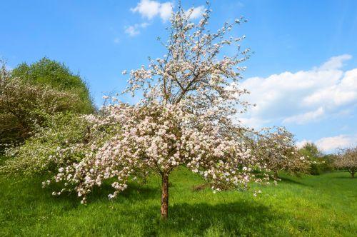 vaisių sodas,pavasaris,žydėti,saldus,žiedas,žydėti,balta