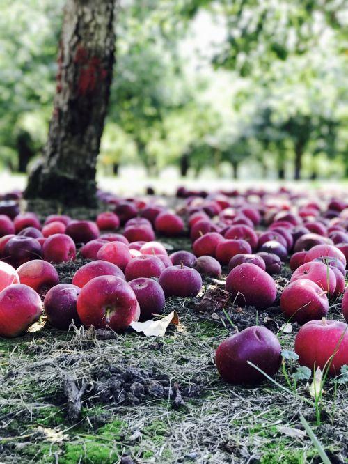 vaisių sodas,obuoliai,raudona,gamta,galia,vaismedis,derlius,obuolys,raudonas obuolys,vaisių medžiai,medis,žalias,žali obuoliai,raudoni obuoliai,rinkimas,raudoni vaisiai,myliu obuolius,maistas,vaisiai