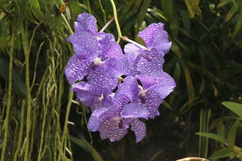orchidėja,gėlė,žiedas,žydėti,balta violetinė,violetinė,augalas
