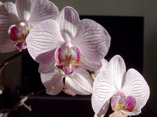 orchidėja,Phalaenopsis,balta,falanopiso orchidėja,atogrąžų,gėlė,drugelis orchidėja,žiedas,žydėti,violetinė,augalas
