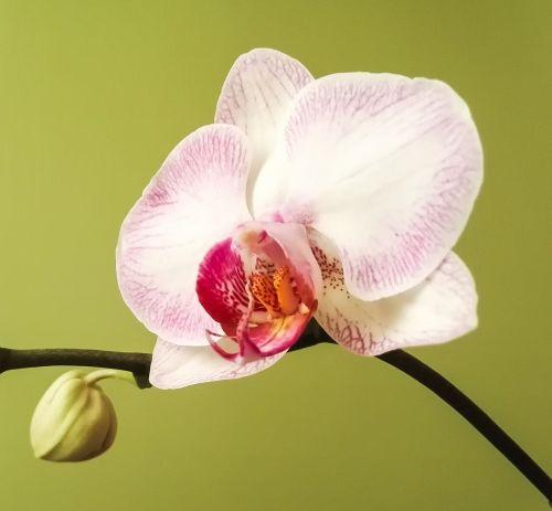 orchidėja,Phalaenopsis,žiedas,žydėti,balta rožinė,žydėti,augalas,gamta