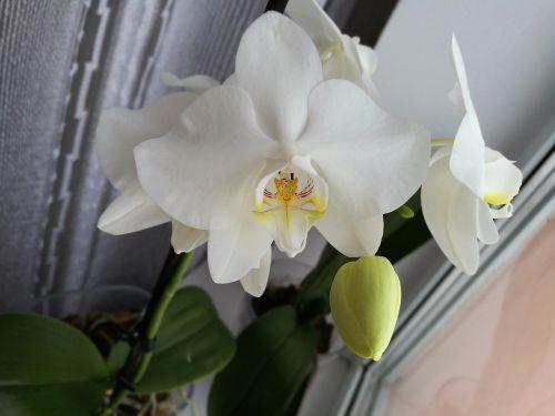 orchidėja,balta orchidėja,makro,augalas,tropiniai augalai,graži gėlė,gėlių orchidėja,gėlės