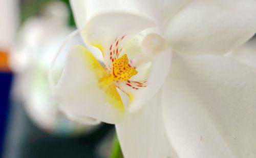 orchidėja,žydėti,gėlės,žiedas,žydėti,botanikos,botanikos,drakono burnas,langas,sodas,pragaras,Lengvai,violetinė,augalas,rožinis,balta