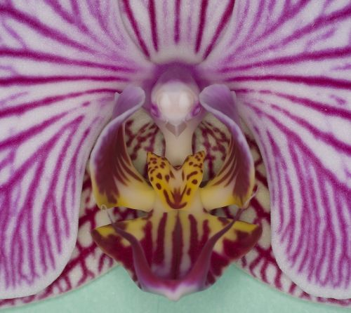 orchidėja,kambarinis augalas,žiedas,žydėti,orchidėjų šiltnamiai,Uždaryti,žydėti,rožinis