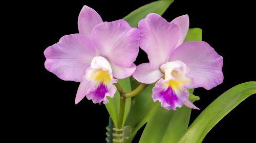 orchidėja,violetinė,violetinė orchidėja,violetinė,gėlė,flora,sodas,atogrąžų,augalas,žydėti,subtilus,gražus