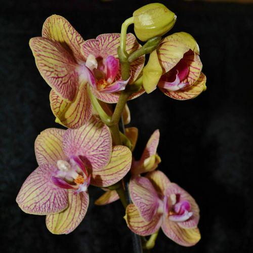 orchidėja,gėlė,geltona,budas,žydėti,abstraktus,žiedlapis,vainikas žiedlapis,dekoratyvinis