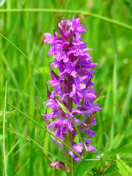 orchidėja,Vakarų pelkė,Vakarų pelkių kopūstai