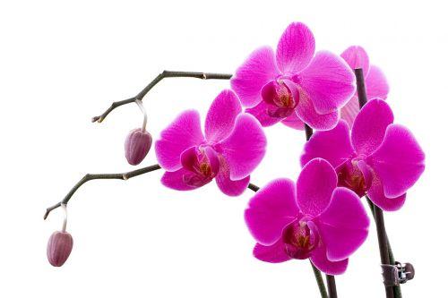 orchidėja,sprigas,gėlė,rožinis