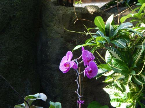 orchidėjos,gėlės,violetinė orchidėja,sodas,taika,žiedlapis,pavasaris,gyvas,botanikos,gyvenimas,flora,gėlė,augalas,mielas,gamta,violetinė,orchidėja