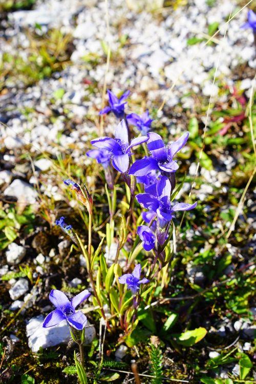 įprastas fransenzenas,gėlė,žiedas,žydėti,Alpių gėlė,Alpių augalas,gentianopsis ciliata,Raguotas gencijonas,fringed gentian,gentianopsis,Gencio augalas,gentianaceae,mėlyna violetinė,violetinė,mėlyna violetinė,alyvinė mėlyna,violetinė mėlyna,violetinė,didelis piltuvėlių gėlė,kūgio gėlė,laukiniai bittersiuss,bläueli,gülden aurin,danties stiebas,fransen,plaukuotas