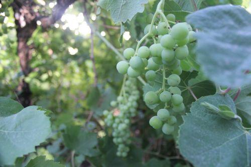 ekologiška sodininkystė,sodas,Žemdirbystė,augti,ekologiškas,sodininkystė,derlius,vynuogės,vynmedis