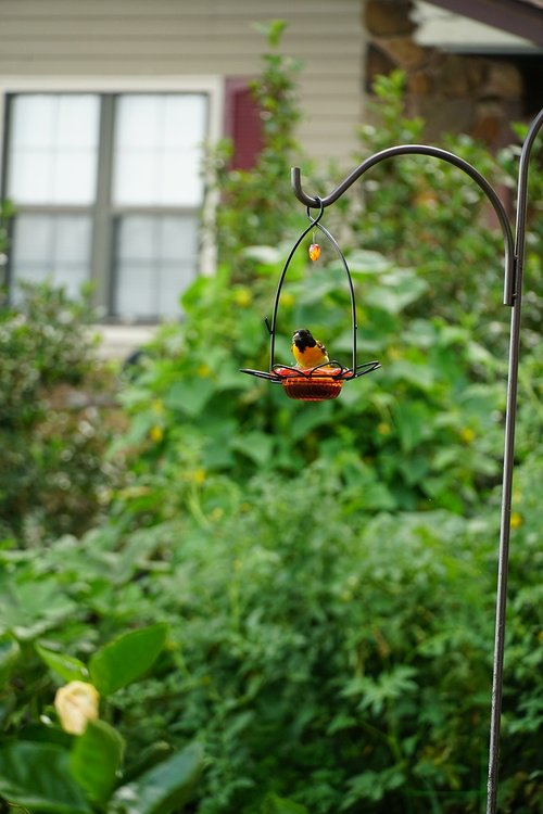 volungė, paukštis, Gyvūnijos, paukščių stebėjimas, oranžinė, sėdi, sėdi, geriamojo, valgymas, plunksnų