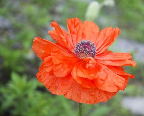 aguona,žydėti,šviesus,spalva,dekoratyvinis,gėlių,gėlė,sodas,sodininkystė