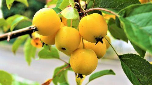 dekoratyvinis obuolys,dangūs obuoliai,mažas,obuoliai,Iš arti,Oi,taip,geltona,saldus,skanus,liesas