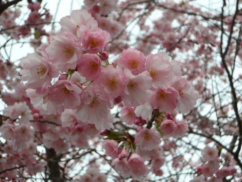 ornamentinis vyšnia,vyšnių žiedas,japonų vyšnios,japonų vyšnios,japonų žydinčių vyšnių,žydėti,rožinis,medis,gėlių žiedai,pavasaris,blütenmeer