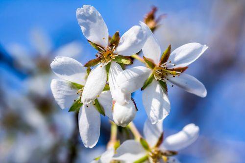 ornamentinis vyšnia,nykštukė vyšnios,Kuril vyšnios,baltos gėlės,pavasaris,žydėti,japonų vyšnios,vyšnių žiedas,japonų žydinčių vyšnių,pavasario pabudimas,romantika