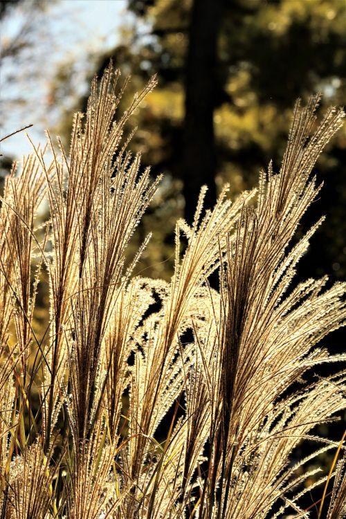 gamta, augalai, žolė, dekoratyvinė & nbsp, žolė, auksinis, spindi, žėrintis, blizgantis, atgal & nbsp, šviesa, saulė, popietė, vakaras, saulės šviesa, dekoratyvi žolė su apšvietimu