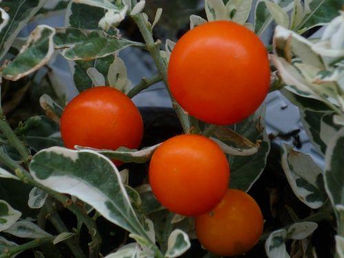 dekoratyvinis augalas,raudona,vaisiai,sidabro balta,raštuotas,lapai,Gelės vazonas,vasara,Uždaryti