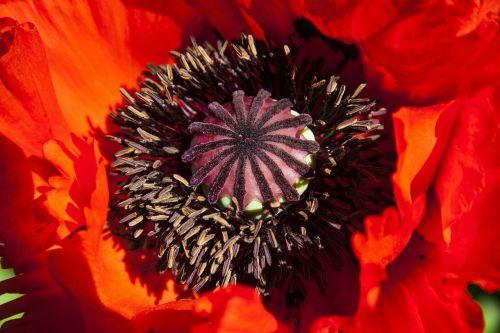 ornamentinės aguonos,pusiau rozetės gamykla,gėlė,gamta,flora,pavasaris,žiedas,žydėti,dekoratyvinis augalas,raudona,tvirtas,kapsulė