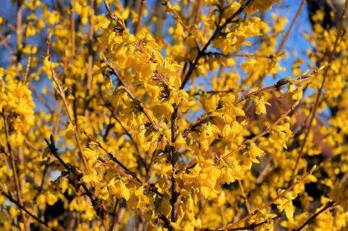 dekoratyvinis krūmas, gėlės, auksinė alyva, forsitija, geltona, šviesus, Velykos, pavasaris, gražus, botanika, oleaceae, šiek tiek toksiškas