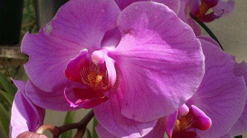orquidea,gėlė,gamta