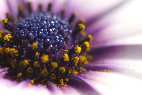 osteospermas,african Daisy,gėlė,makro,žiedadulkės,gėlių,Daisy,pavasaris,violetinė,žiedlapis