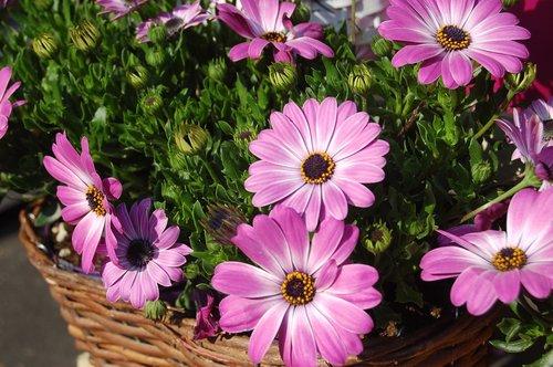 osteospermum, , Saulutės Afrikos, pobūdį, gėlė, vasara, žiedlapiai, vasaros gėlės, gėlės
