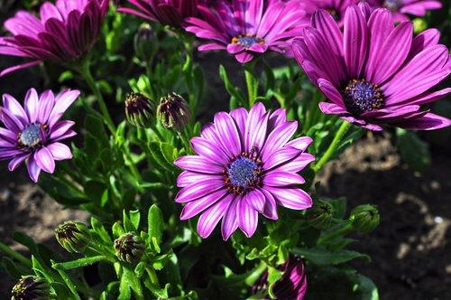 osteospermum, Pietų Afrikos Daisy, gėlė, augalų, Medetkų, calenduleae, Asteraceae, Daisy krūmai, Cape Daisy, mėlyna akimis daisy, daugiamečių, pusė hardy daugiamečiai, puskrūmis, žydi, pavasaris, Gegužė, sezoninis