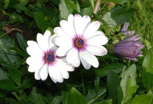osteospermas,Afrikos,Daisy,gėlė,žydėti,Iš arti