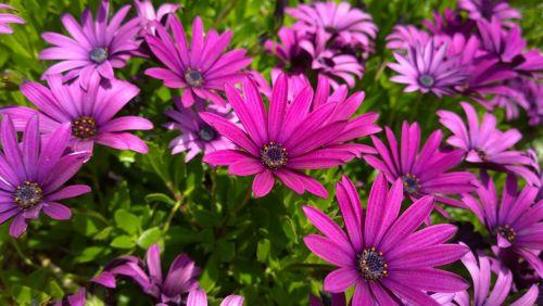osteospermas, saulėtas, mary, osteospermum saulėtos mary gėlės