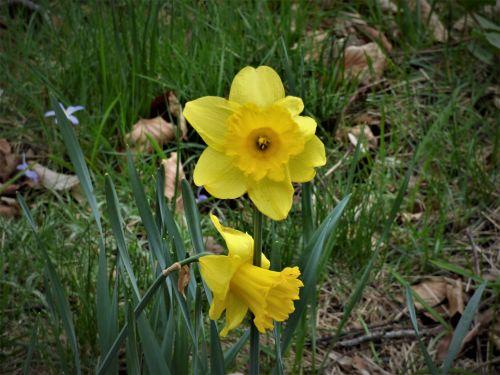 narcizai, geltona, pavasaris, žydėti, gėlės, geltona & nbsp, narcizija, sodas, gamta, augalas, pavasaris & nbsp, gėlės, narcizas, pavasario & nbsp, nuotaika, spyruoklės & nbsp, Messenger, žydėjimas, pavasaris, Velykų gėlė