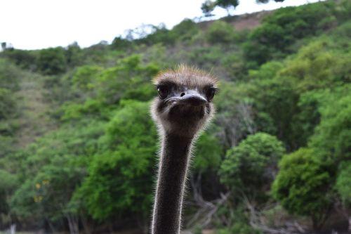 strutis,kaklas,akys,fauna,stručių žvilgsnis,zoologijos sodas,ilgas kaklas,gyvūnų pasaulis,Kolumbija,piko